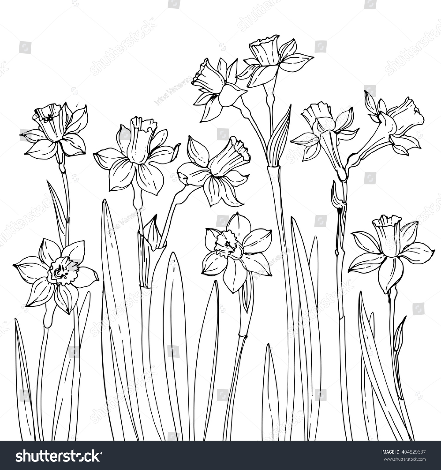 Line Drawing Spring Flowers : Set of vector drawings flowers daffodils line drawn on