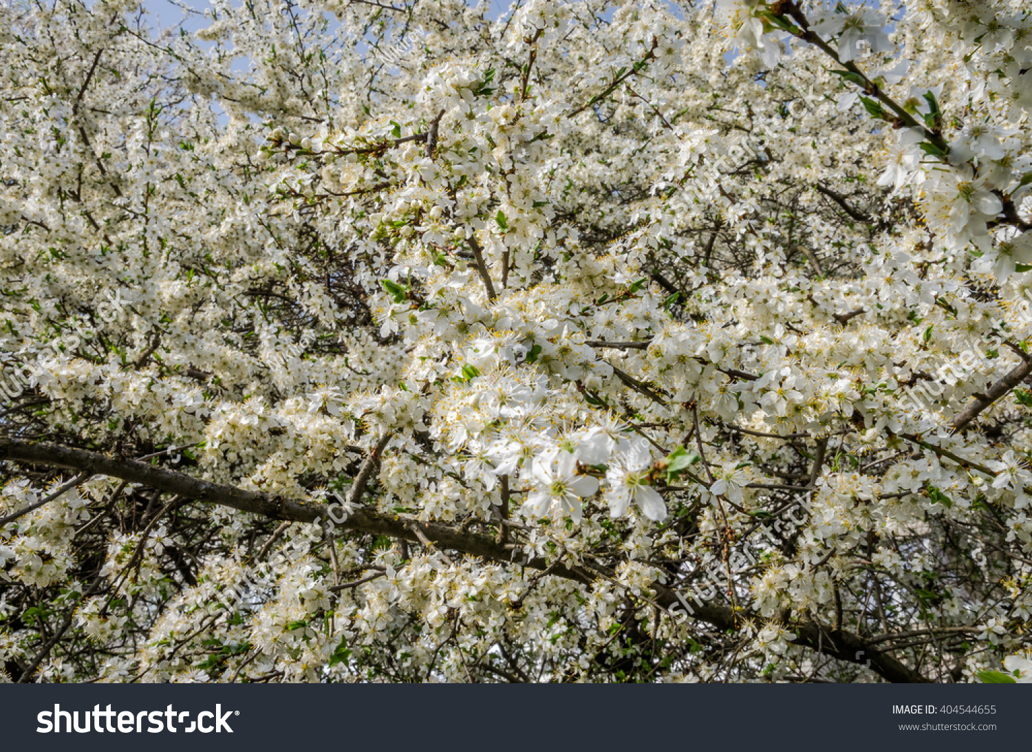 Blooming White Flowers Early Spring Apple Stock Photo Image