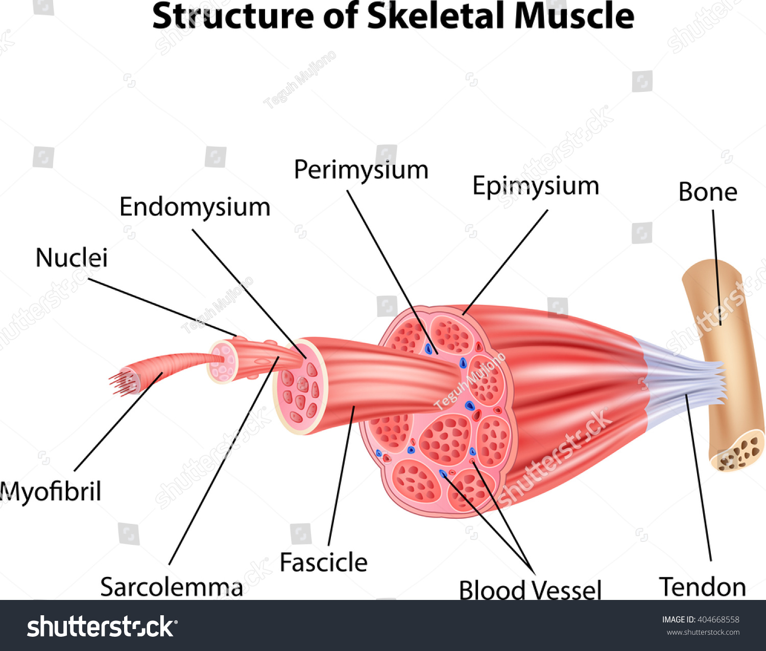 Illustration Structure Skeletal Muscle Anatomy Stock Vector Royalty