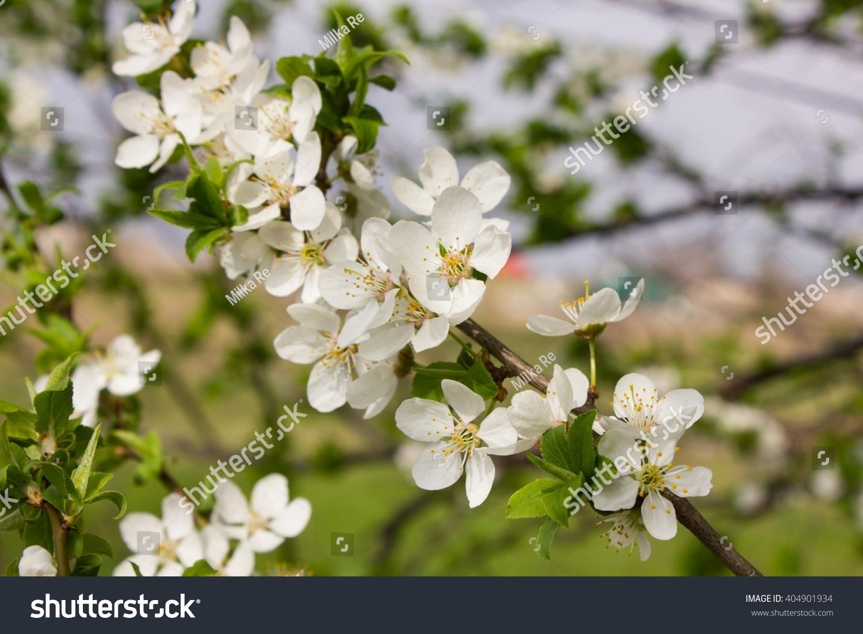 Hawthorn Flower Background Ez Canvas