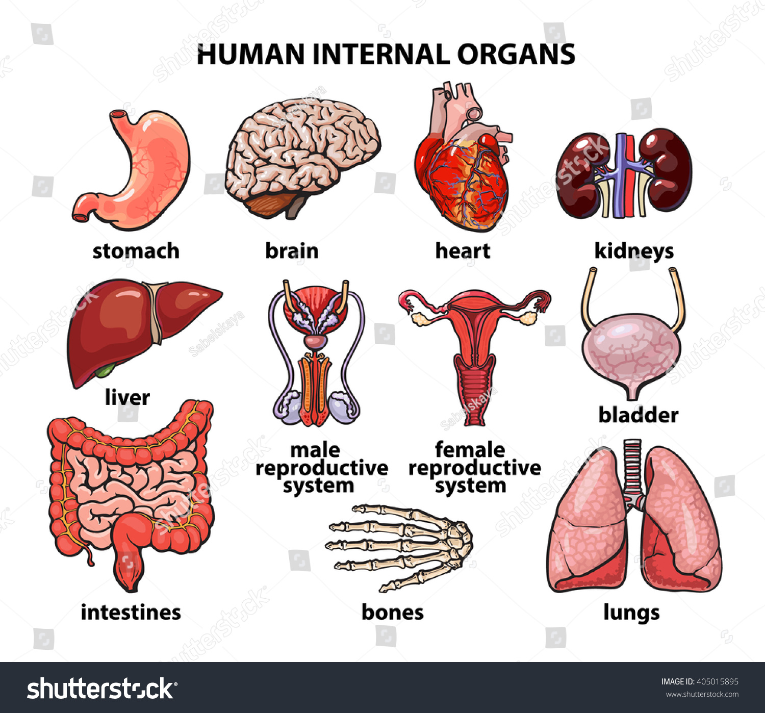 Human Intestines Set Organs Life Realistic Stock Illustration