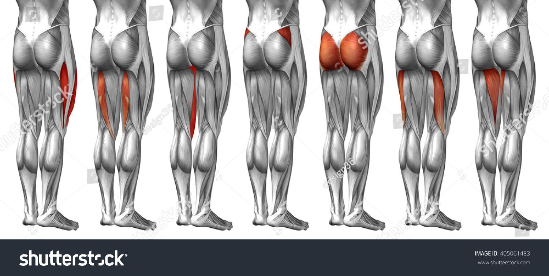 Concept 3 D Human Upper Leg Anatomy Stock Illustration 405061483 ...