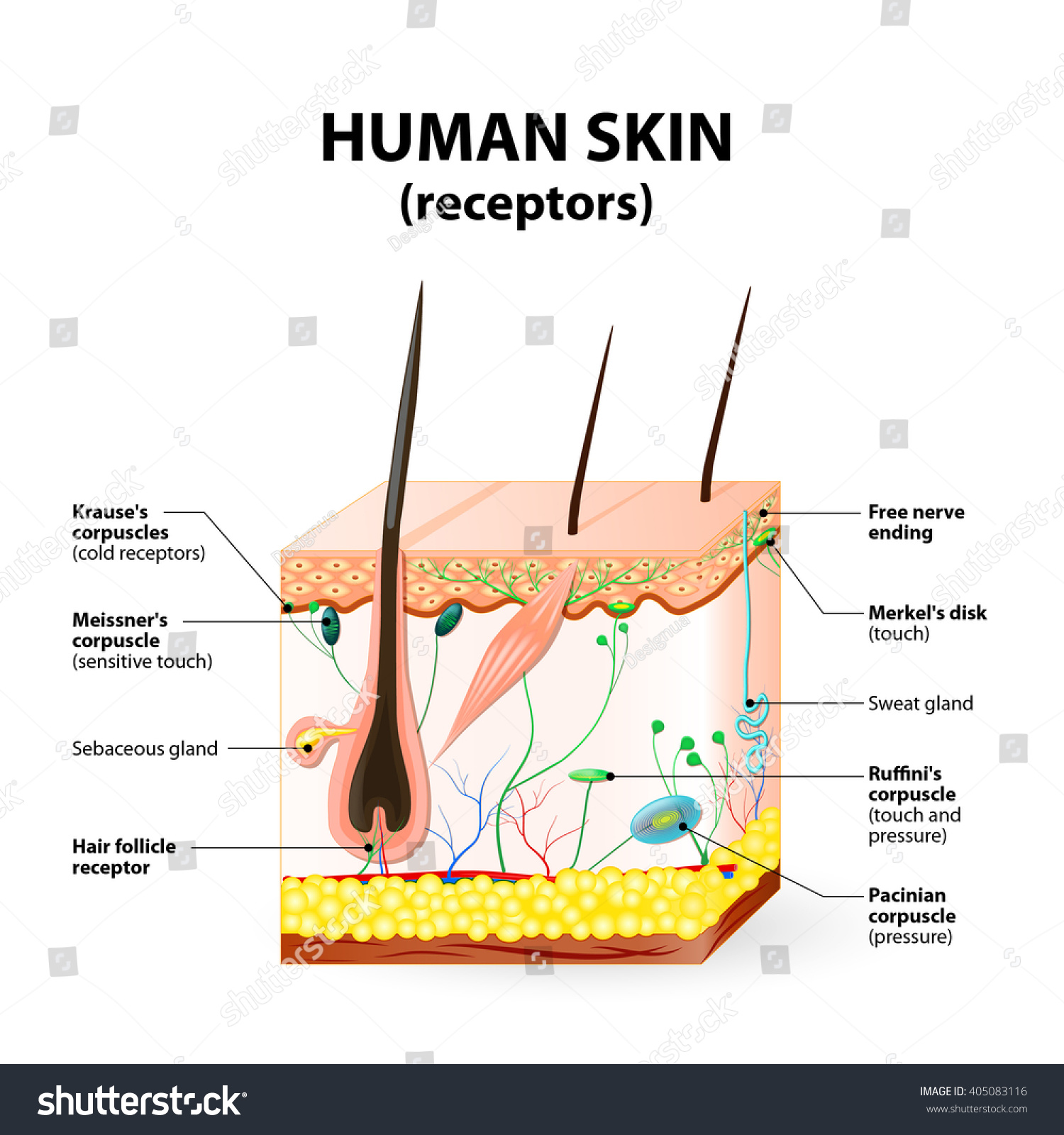 Cross Section Human Skin Pressure Vibration Stock Vector 405083116