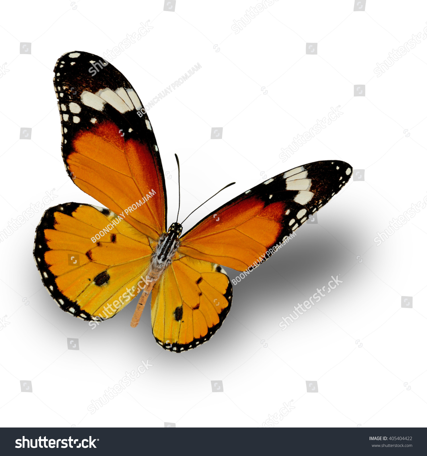Plain Tiger Butterfly Upper Wing Profile Foto de stock (libre de ...