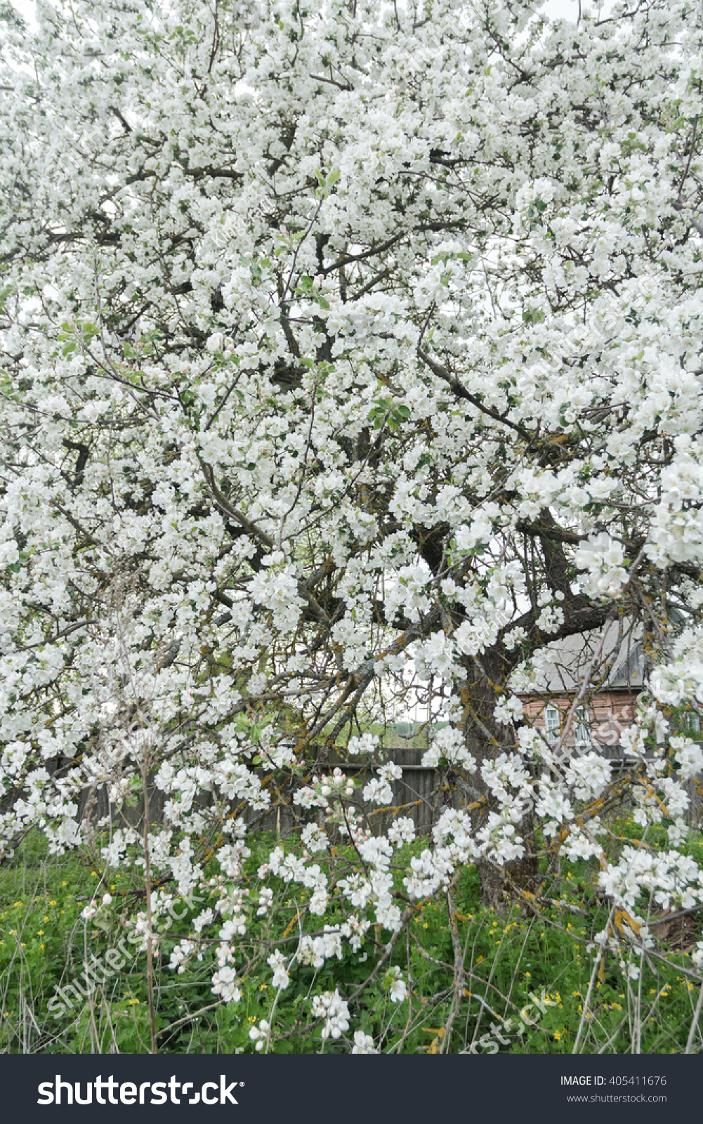 Blooming Apple Tree Spring Garden Covering Stock Photo Edit Now