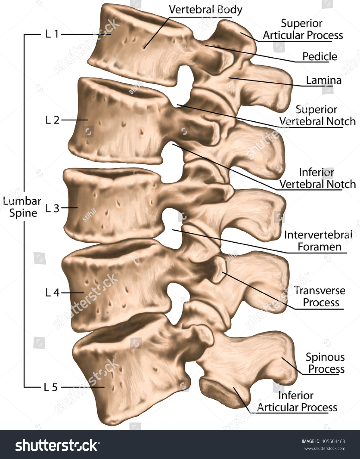 Lumbar Spine Structure Vertebral Bones Lumbar Stock Illustration