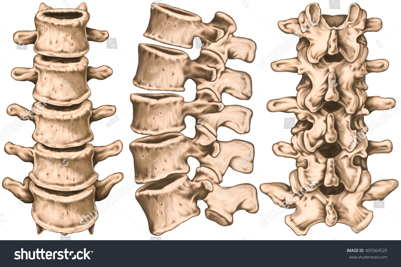 Lumbar Spine Structure Vertebral Bones Lumbar Stock Illustration ...