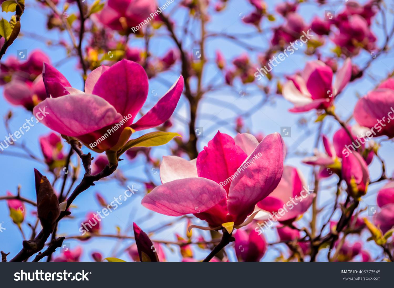 Magnolia flower tree ez canvas mightylinksfo