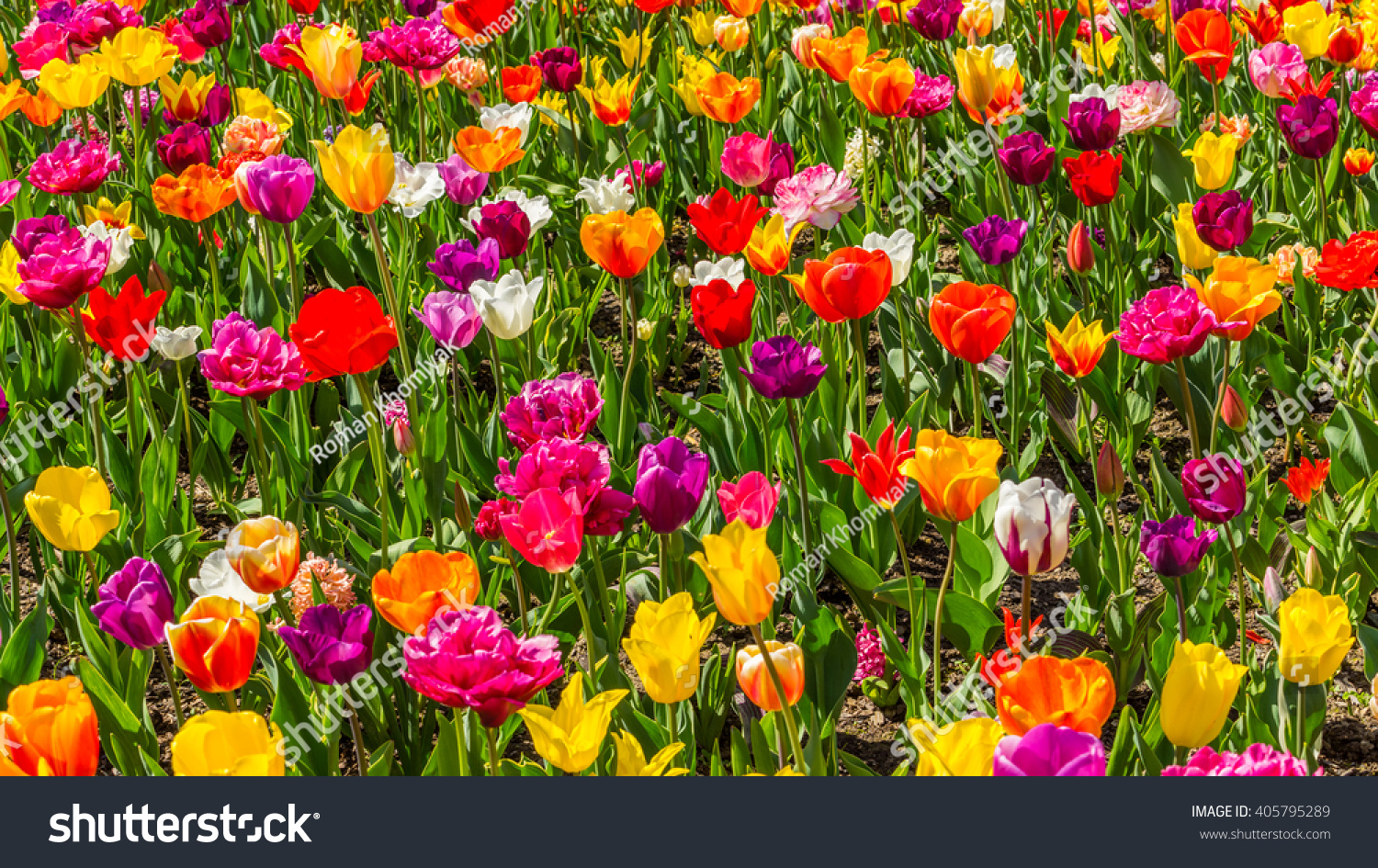 Beautiful tulips spring bright colors natural stock photo edit now beautiful tulips in the spring bright colors of natural flowers izmirmasajfo