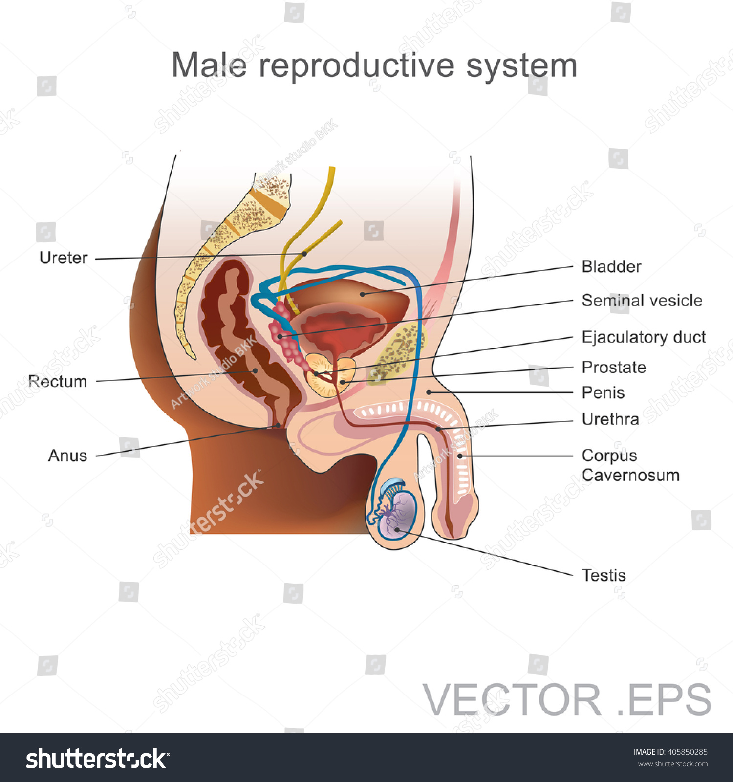 Male Reproductive System Consists Number Sex Stock Vector Royalty