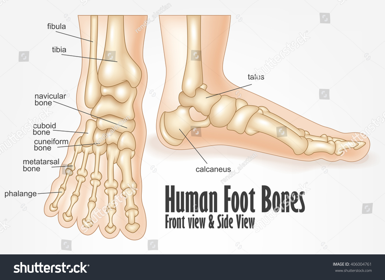Human Foot Bones Front Side View Stock Vector (Royalty Free ...