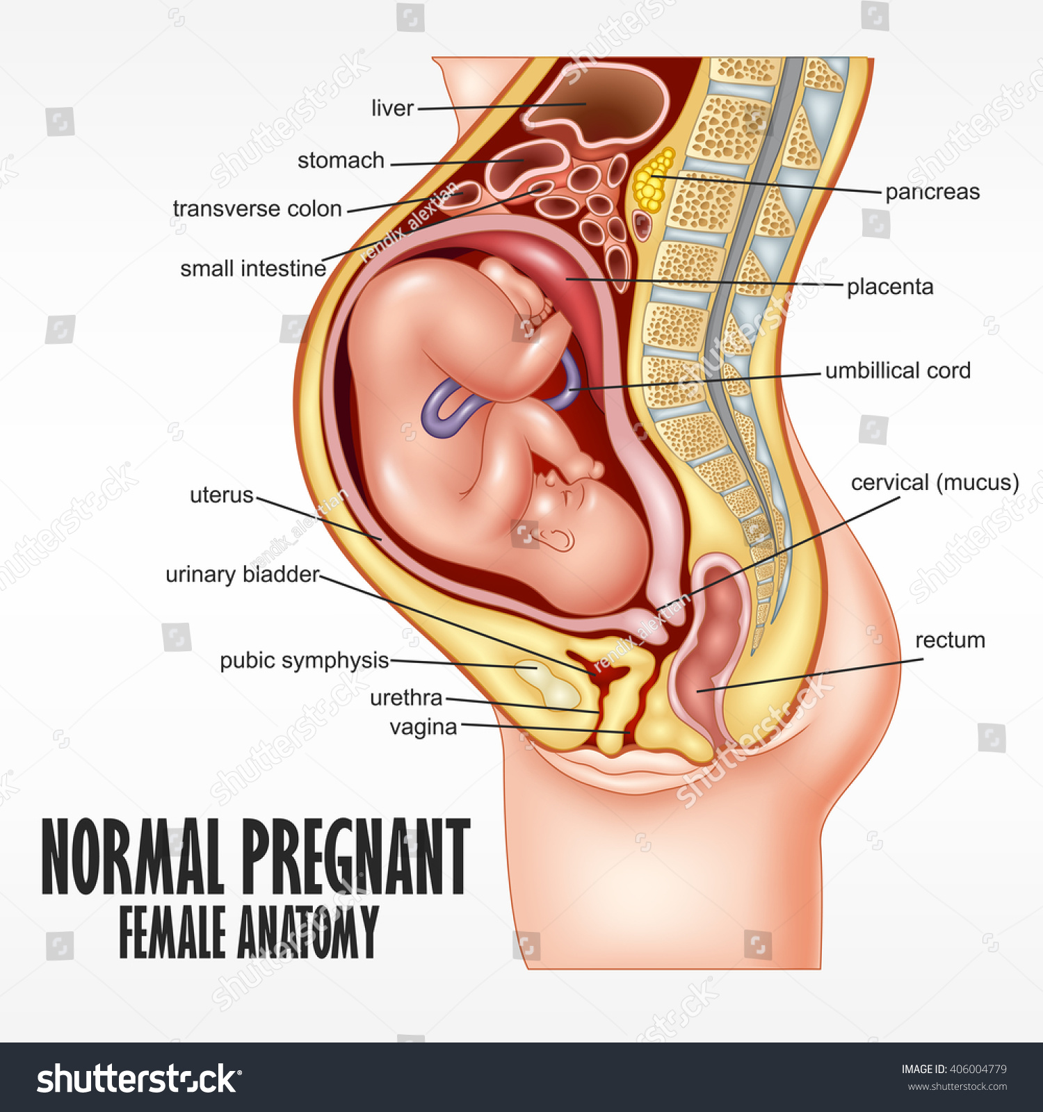 normal pregnant female anatomy stock vector illustration