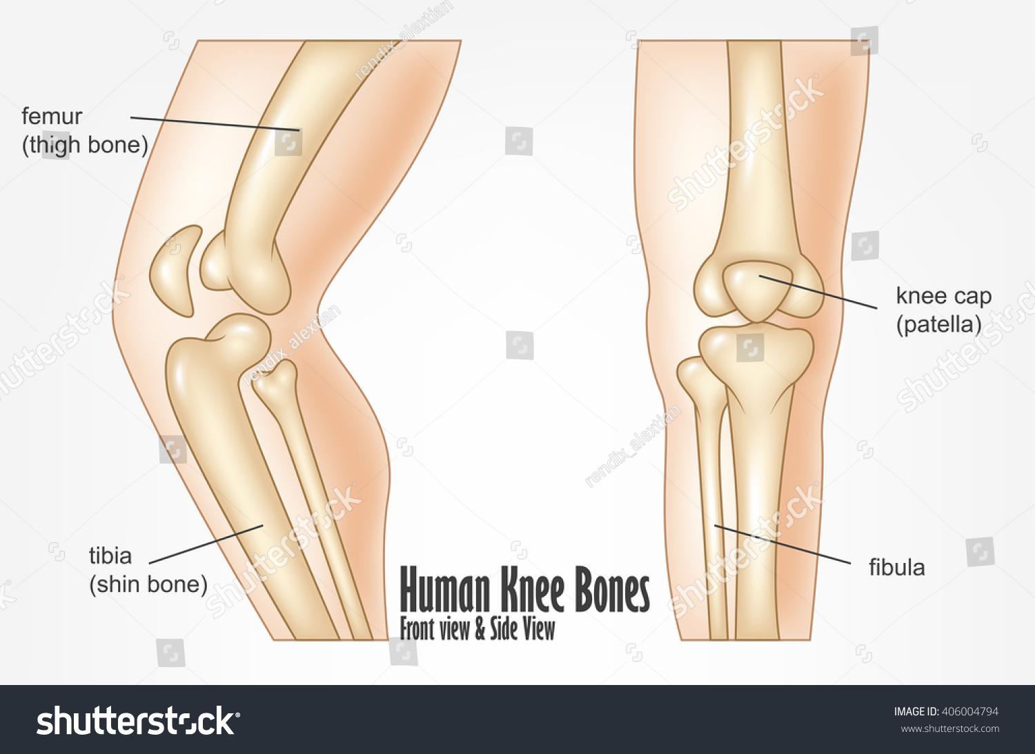 Human Knee Bones Front Side View Stock Illustration 406004794 ...