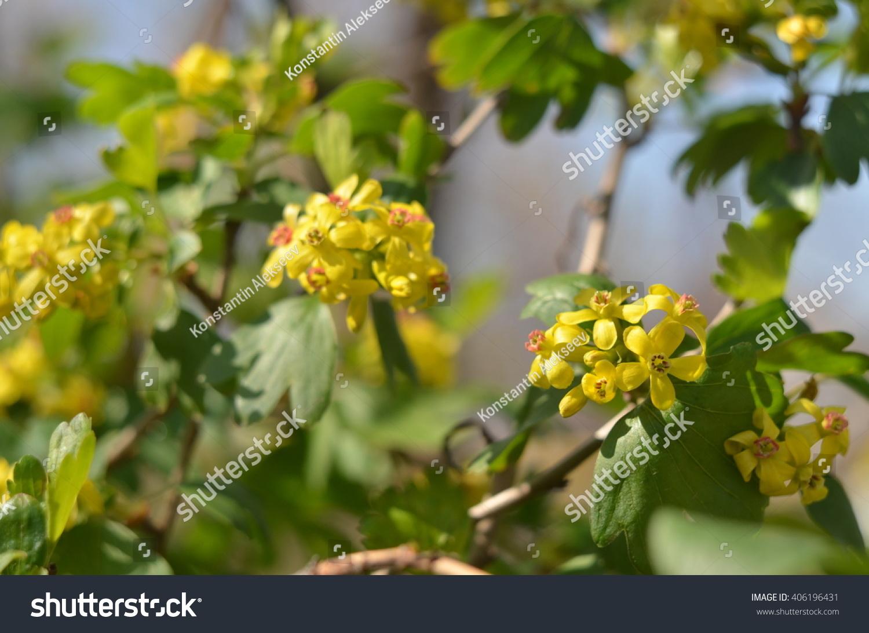 Currant Flowering Ez Canvas