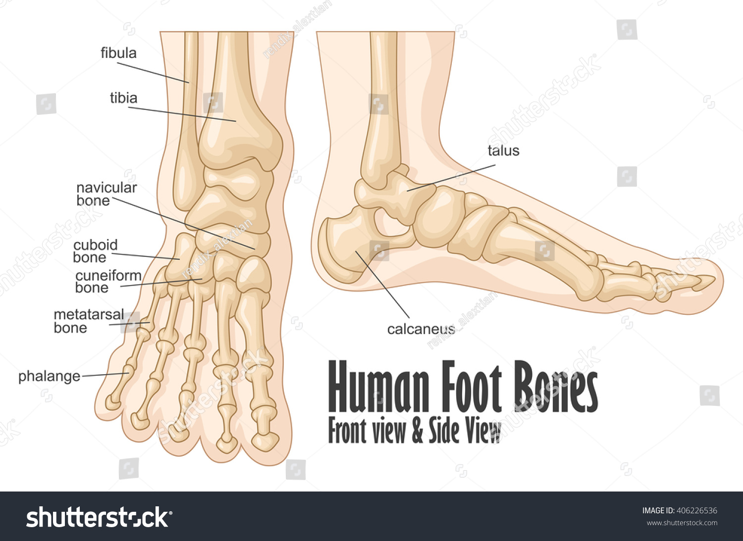 Human Foot Bones Front Side View Stock Illustration 406226536
