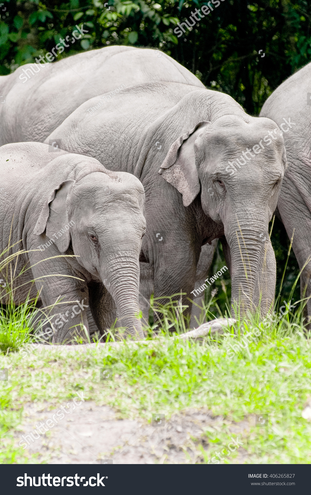 Asian Elephants In The Wild In Thailand Stock Photo ...