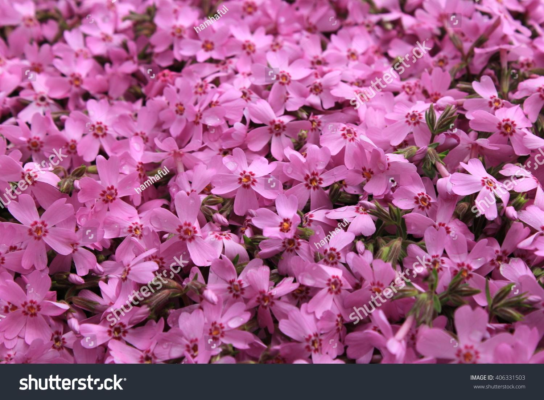 Pink Moss Phlox Flowers Fuji Shibazakura Stock Photo Edit Now
