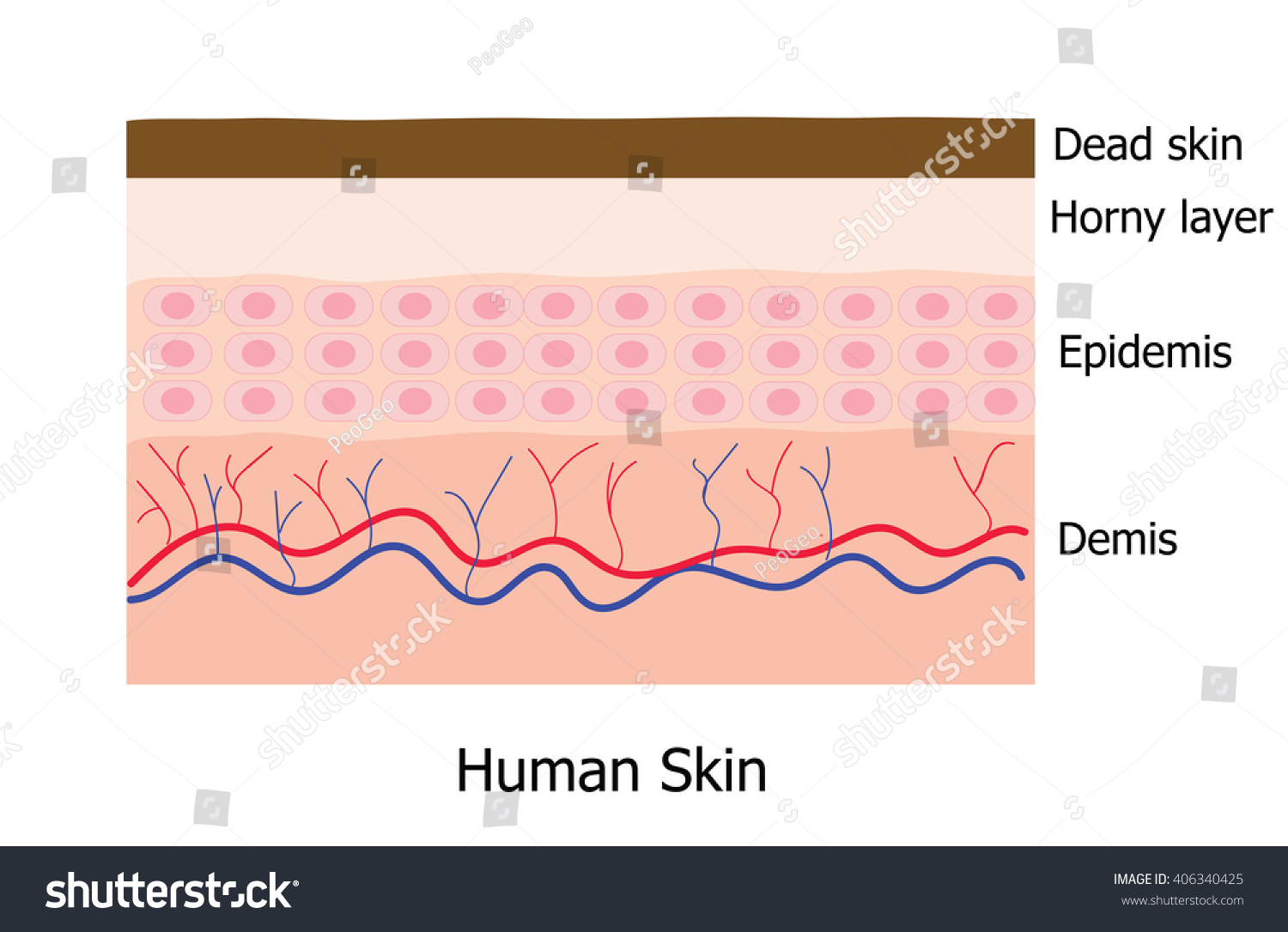 Human skin layer consists dead skin stock vector 406340425 human skin layer consists of dead skin horny layer epidemis and demis pooptronica Image collections