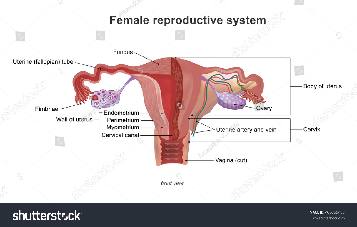 Female Reproductive System Female Genital System Stock Vector ...