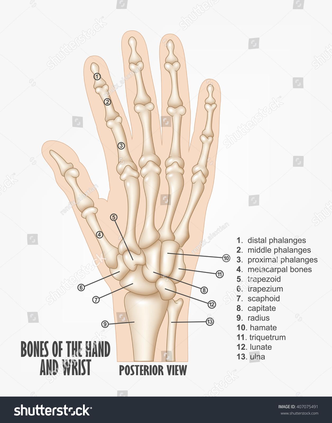 Bones Hand Wrist Anatomy Stockillustration 407075491 Shutterstock