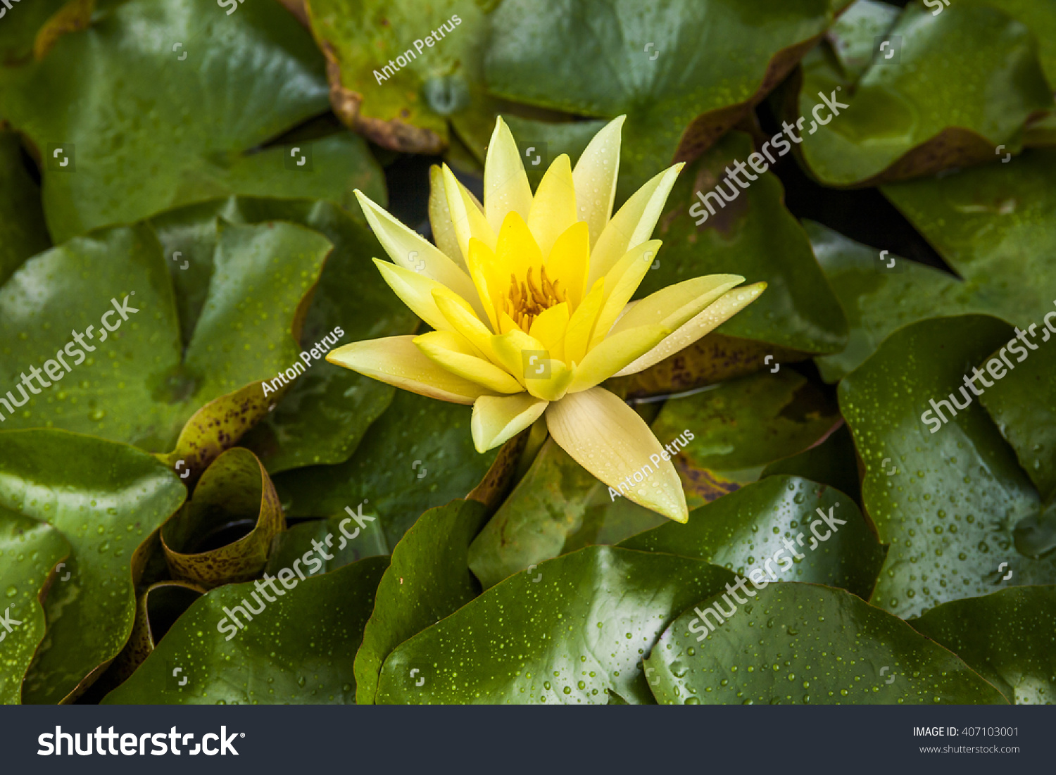 Beautiful Yellow Lotus Flower Water Lily Stock Photo Royalty Free