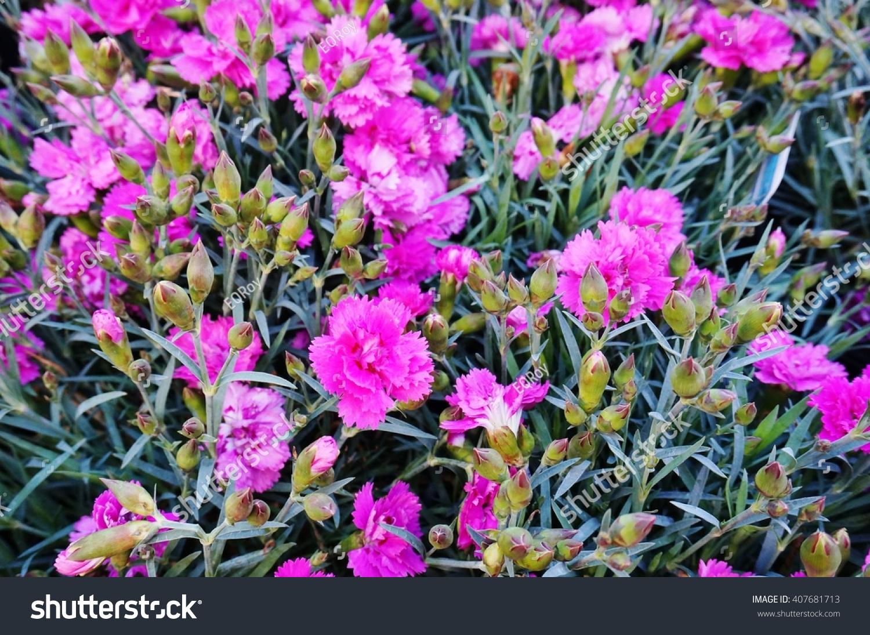 Perennial Pink Dianthus Flowers Ez Canvas