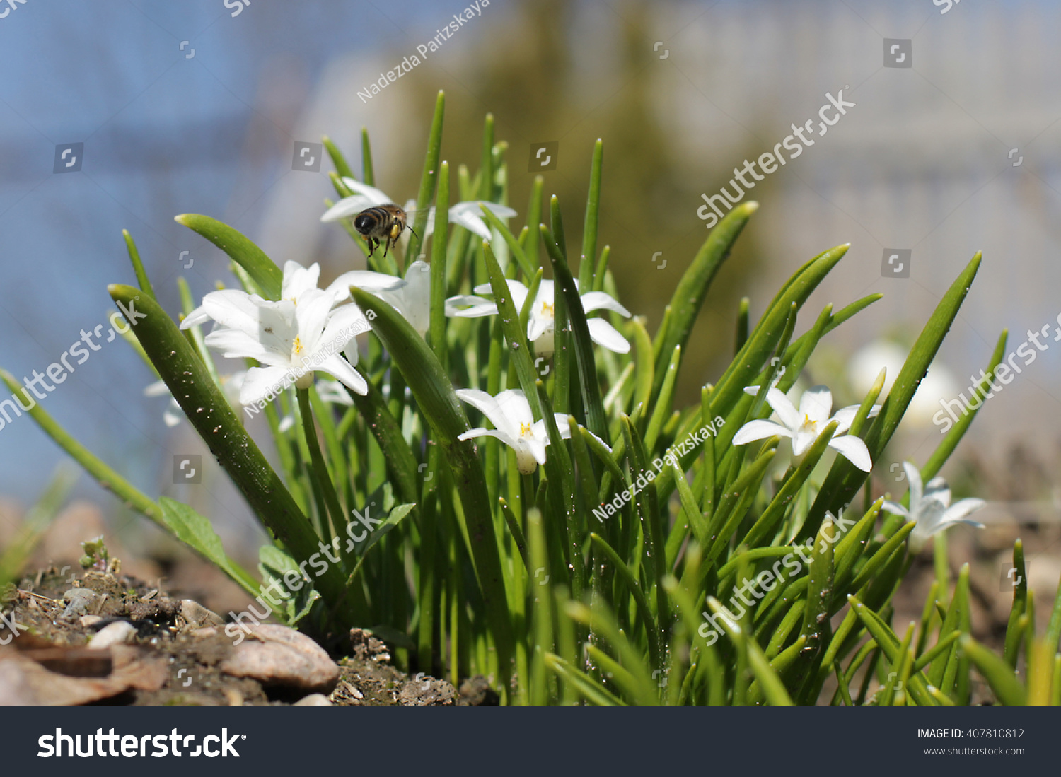 Small White Florets First Spring Flowers Stock Photo 407810812