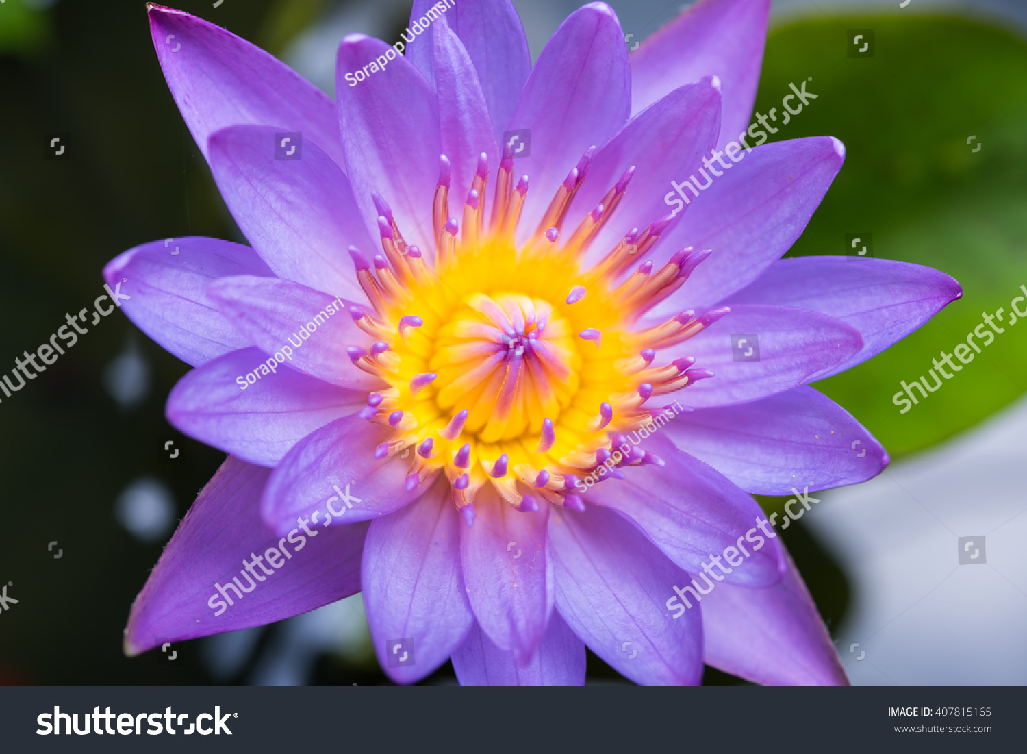 Image of water lily or a lotus flower on the nature water ez canvas id 407815165 izmirmasajfo