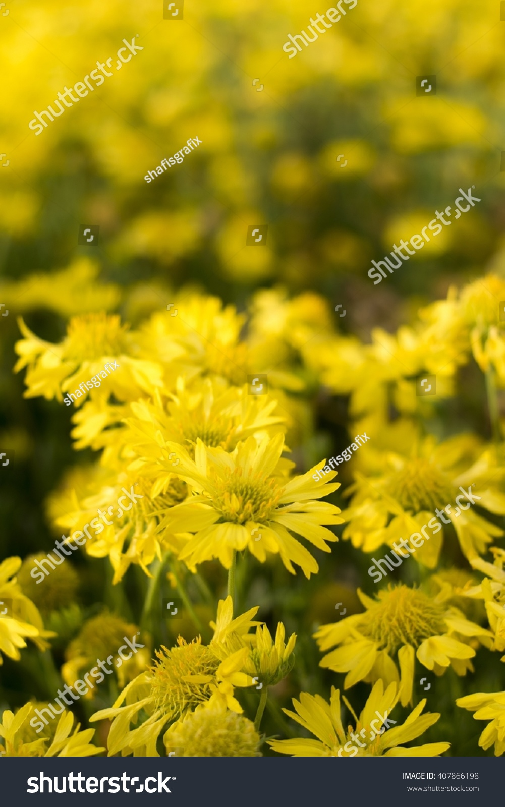 Dandelion Flowers With Blur Or Blurry Background Yellow Colour