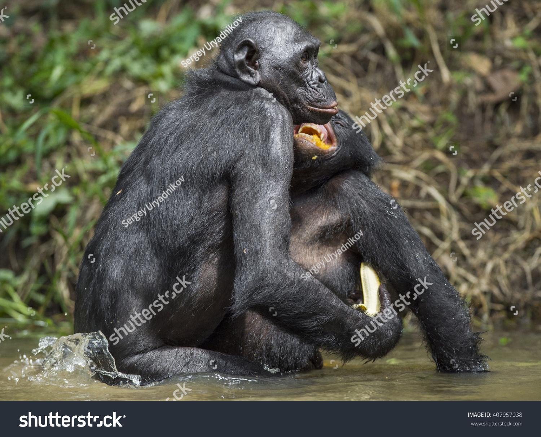 Bonobo Mating Pond Bonobo Pan Paniscus Stock Photo ...