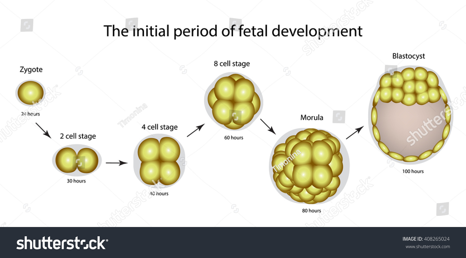 initial period fetal development structure zygote stock vector 408265024 shutterstock. Black Bedroom Furniture Sets. Home Design Ideas