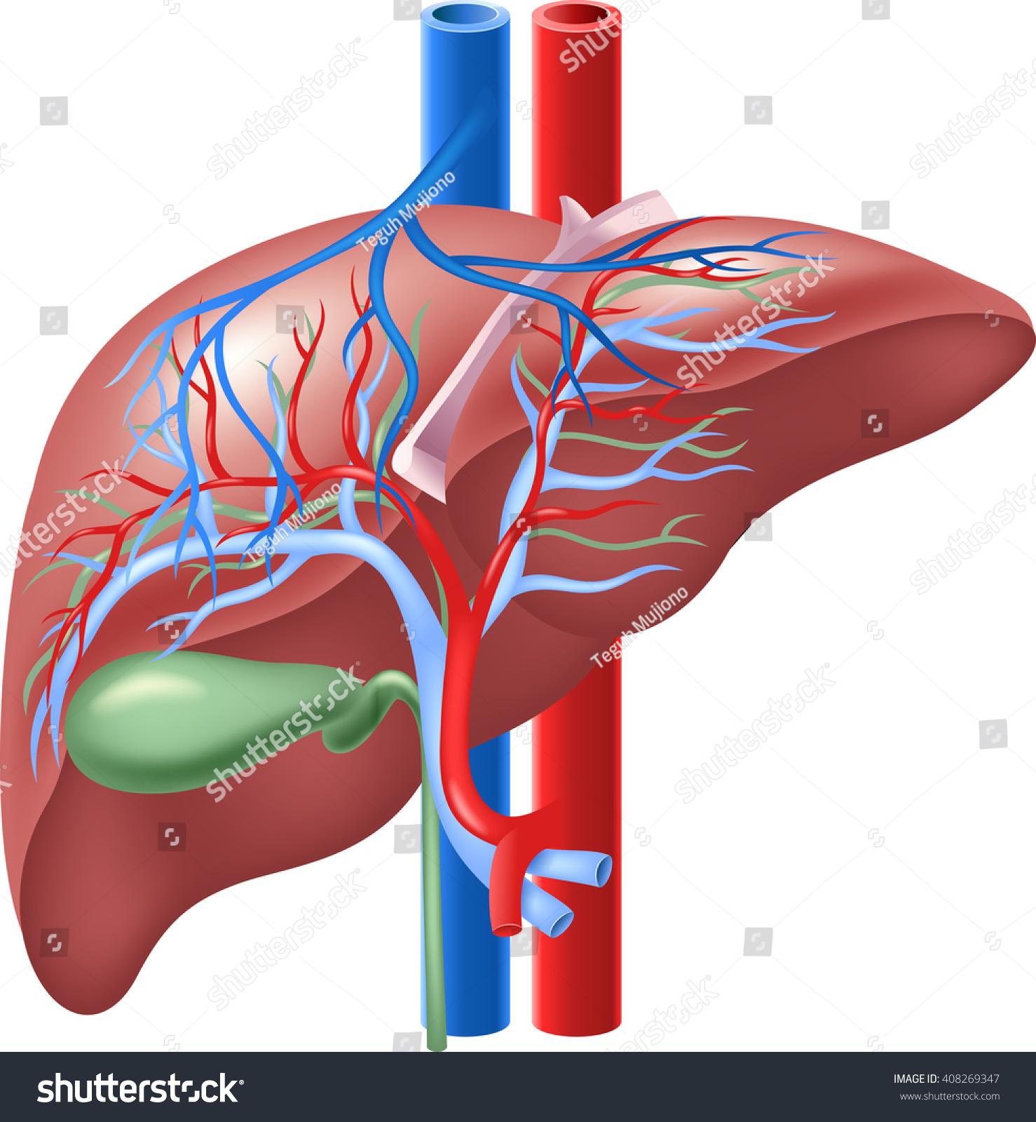 Illustration Human Internal Liver Gallbladder Stock Vector 408269347 ...