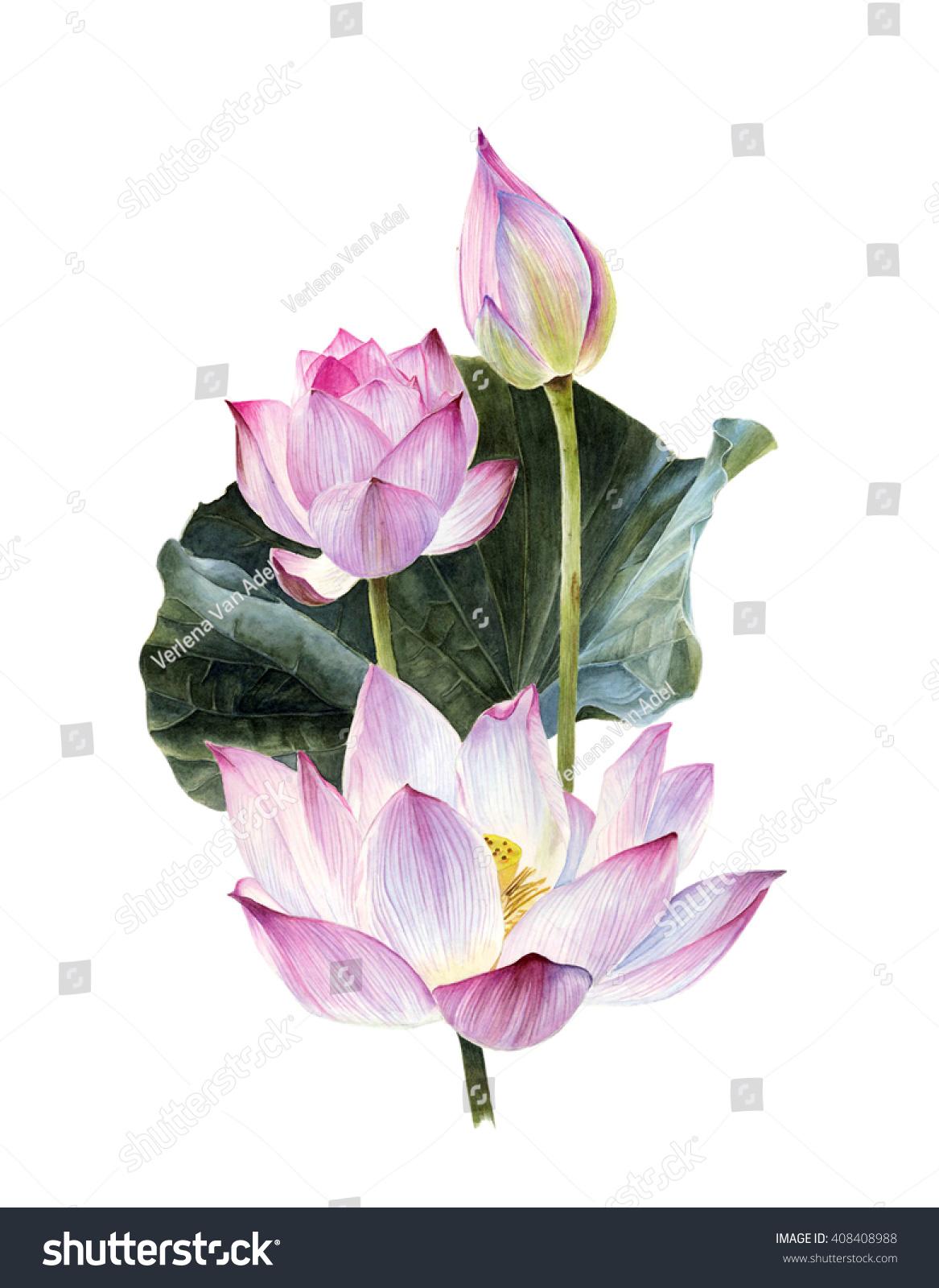 Watercolor Lotus Flowers Illustration Stock Illustration 408408988