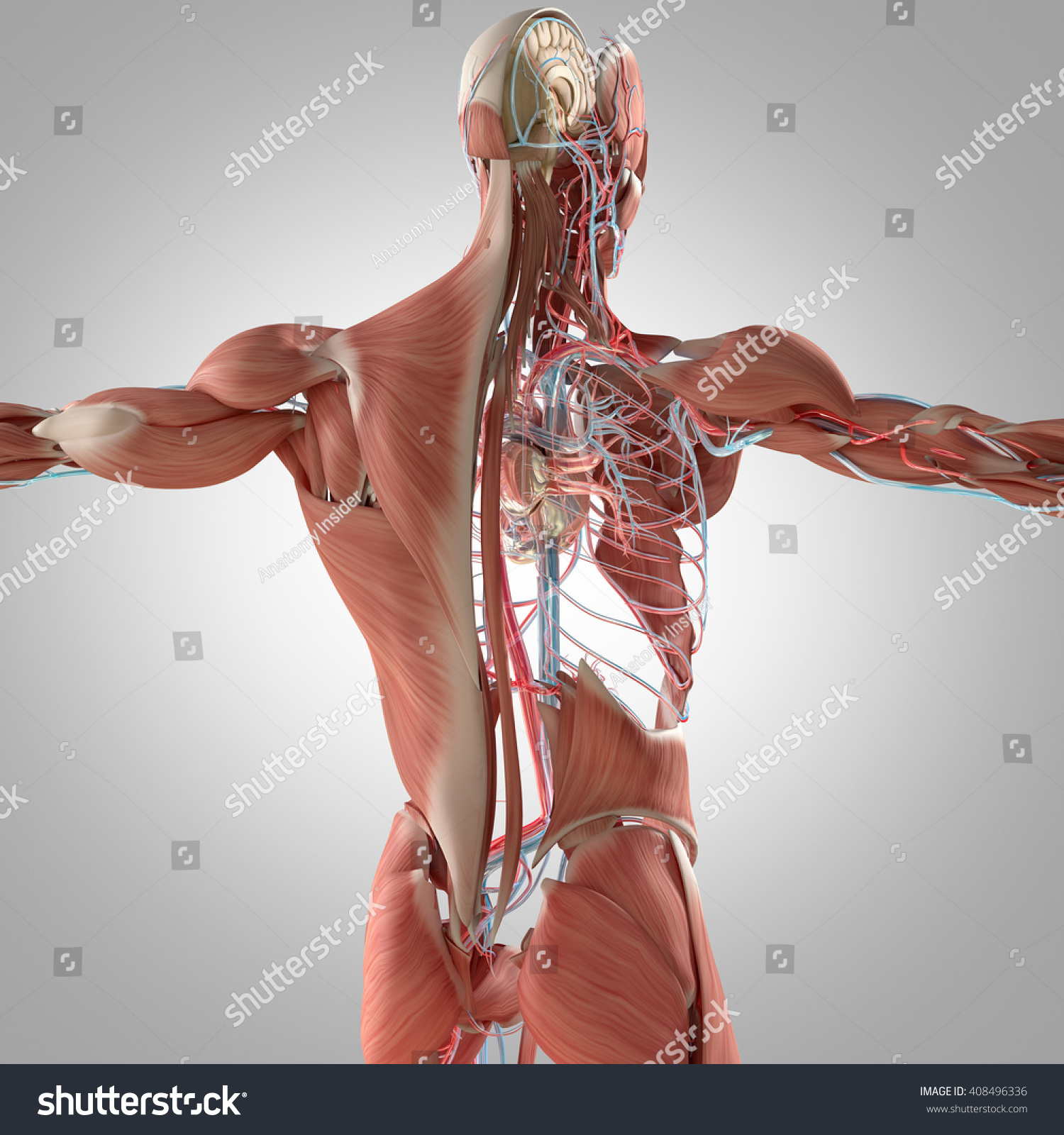 Human Anatomy Back 3 D Illustration Muscular Stock Illustration