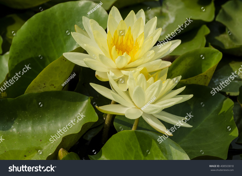 Yellow Lotus Flower Pond Stock Photo Edit Now 408503818 Shutterstock
