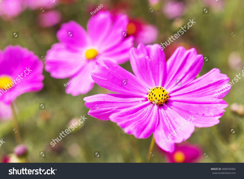 Closeup pink cosmos flower in the garden ez canvas izmirmasajfo