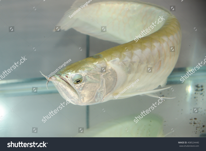 Fish aquarium and good luck - Silver Dragon Osteoglossum Bicirrhosum Silver Arowana In Aquarium Pet Shop India Lucky