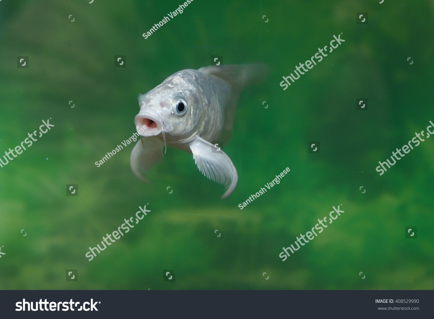 White Ornamental Fish Aquarium Chineese Carp Stock Photo (Royalty ...