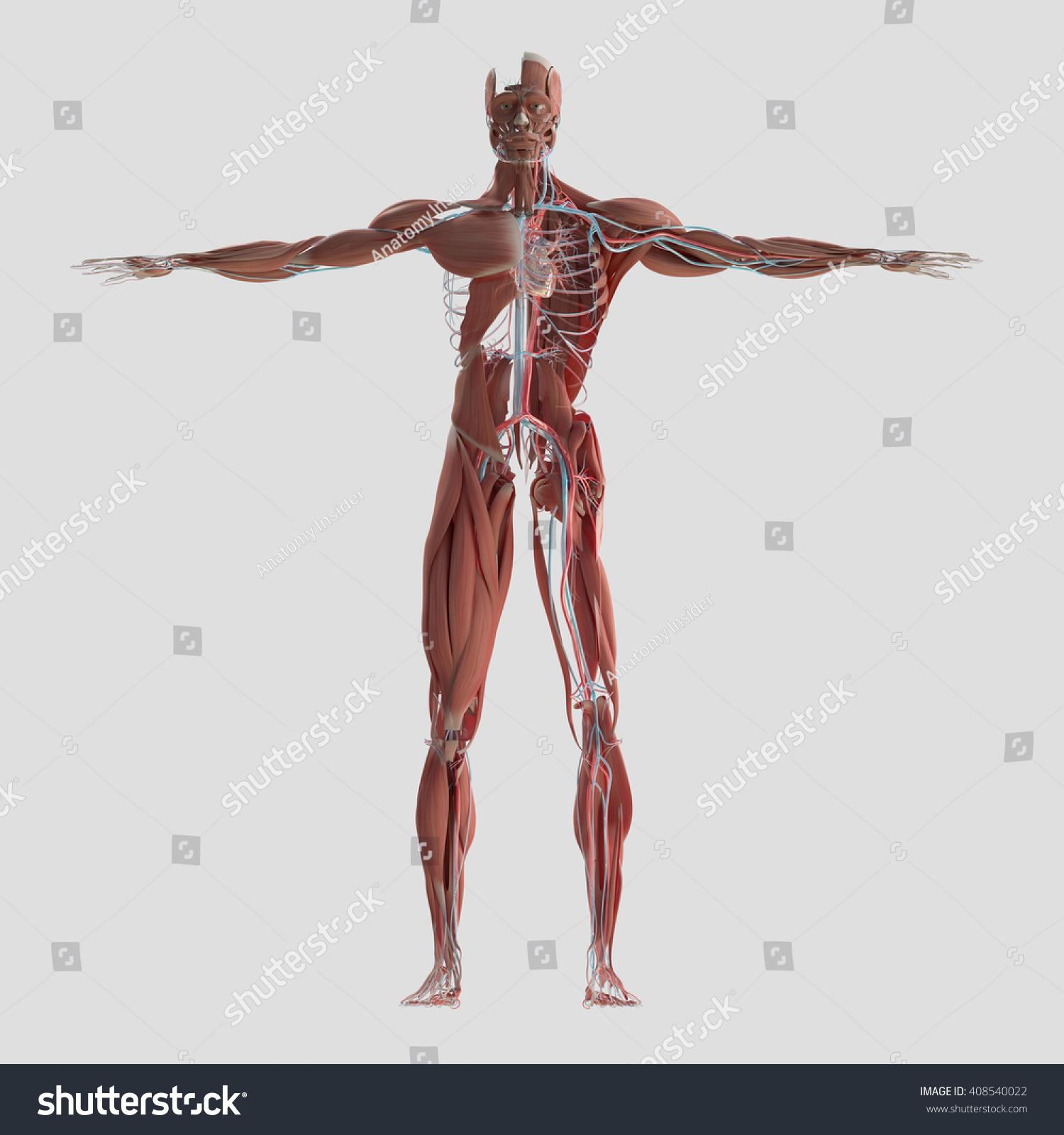 Human Anatomy Body 3 D Illustration Muscular Stock Illustration ...