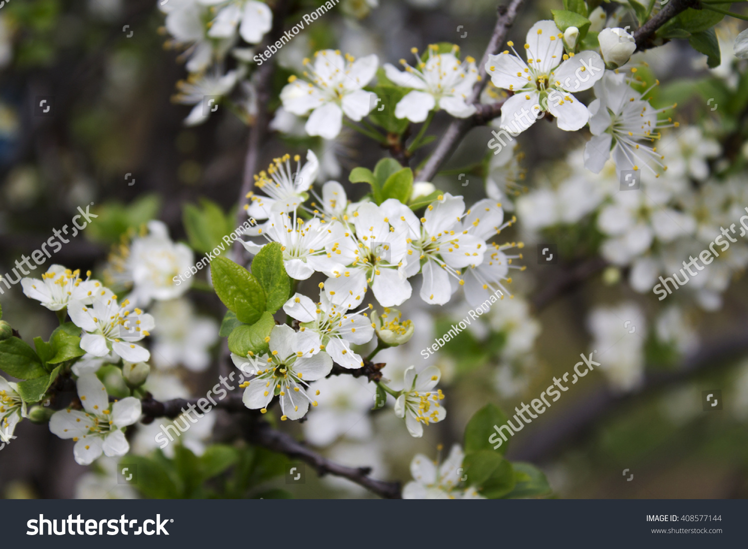 Blossom Of Fruit Trees White Flowers Pear Tree Ez Canvas