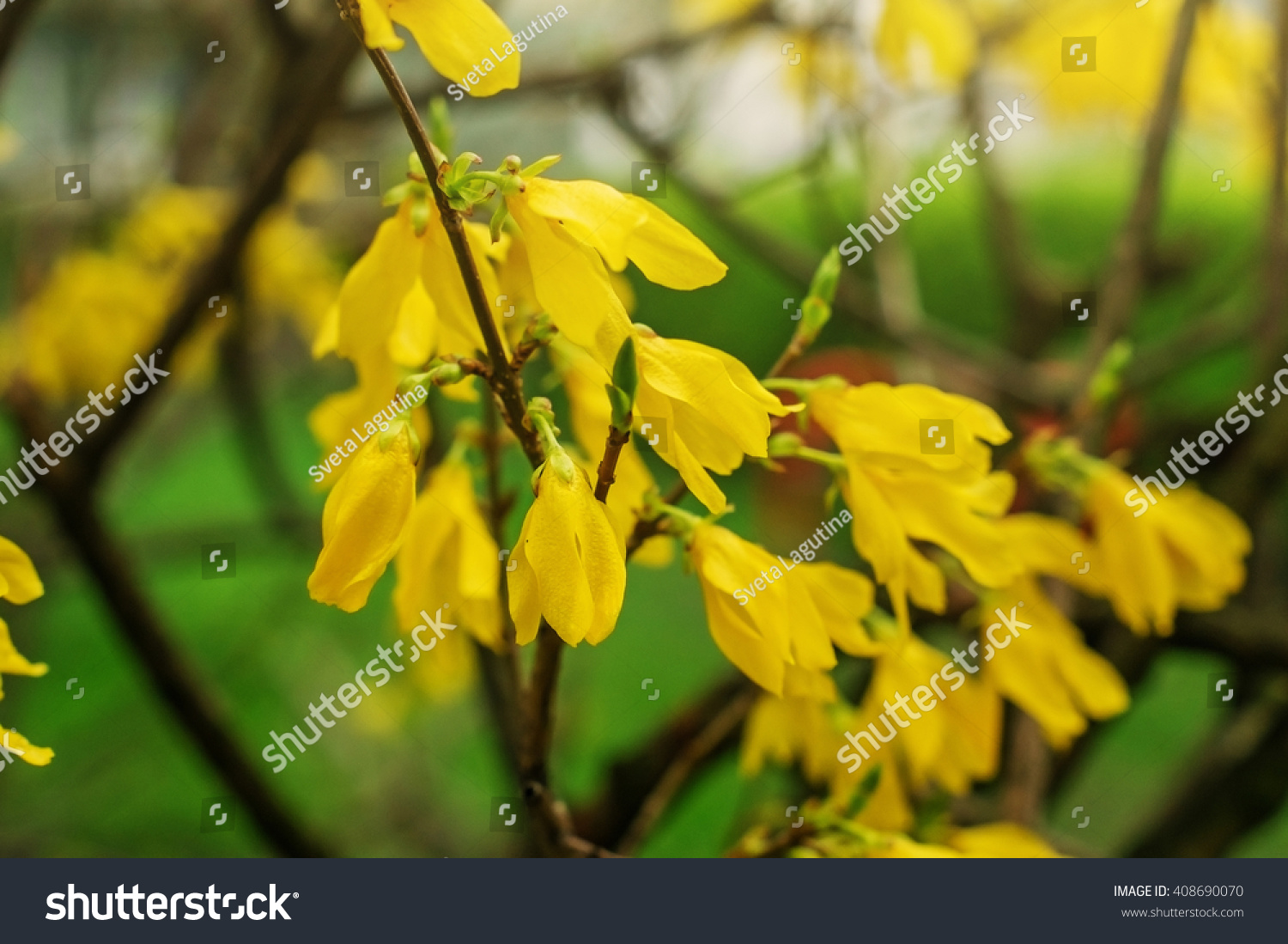 Flowering Bush In The Spring Yellow Flowers On Green Ez Canvas