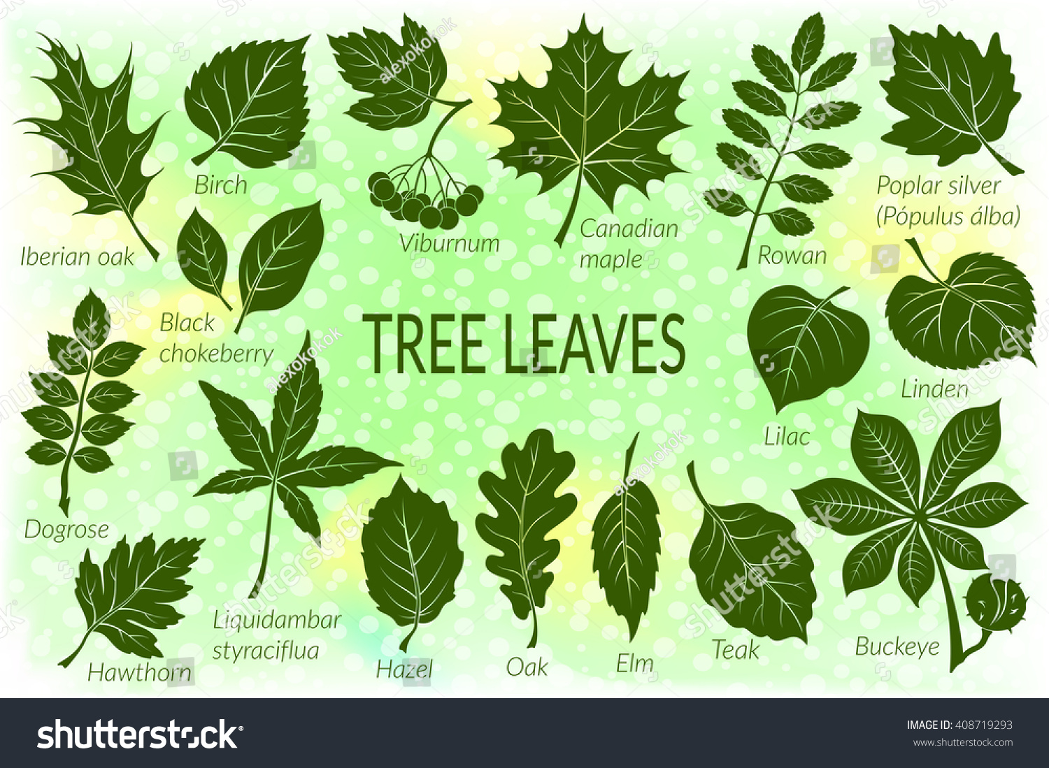 Lilac Tree Information The Gallery For Gt Fruit Tree Leaves Identification