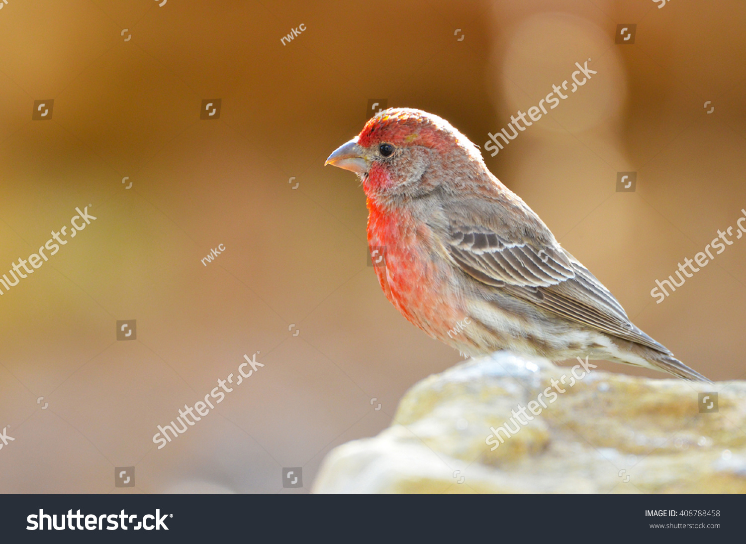Southwest USA Beautiful Red Male House Finches Bright orange red on  forehead, throat, and