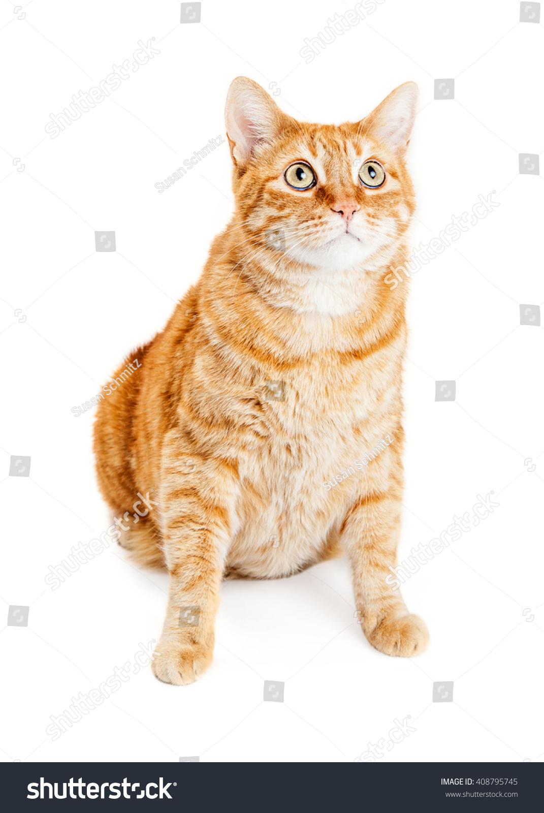 Tabby Cat Sitting Up | www.imgkid.com - The Image Kid Has It! Tabby Cat Sitting Up