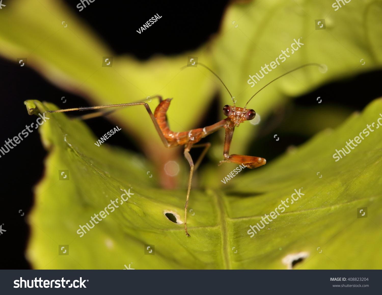 Praying Mantis Mantis Religiosa Brown Color Stock Photo Edit Now