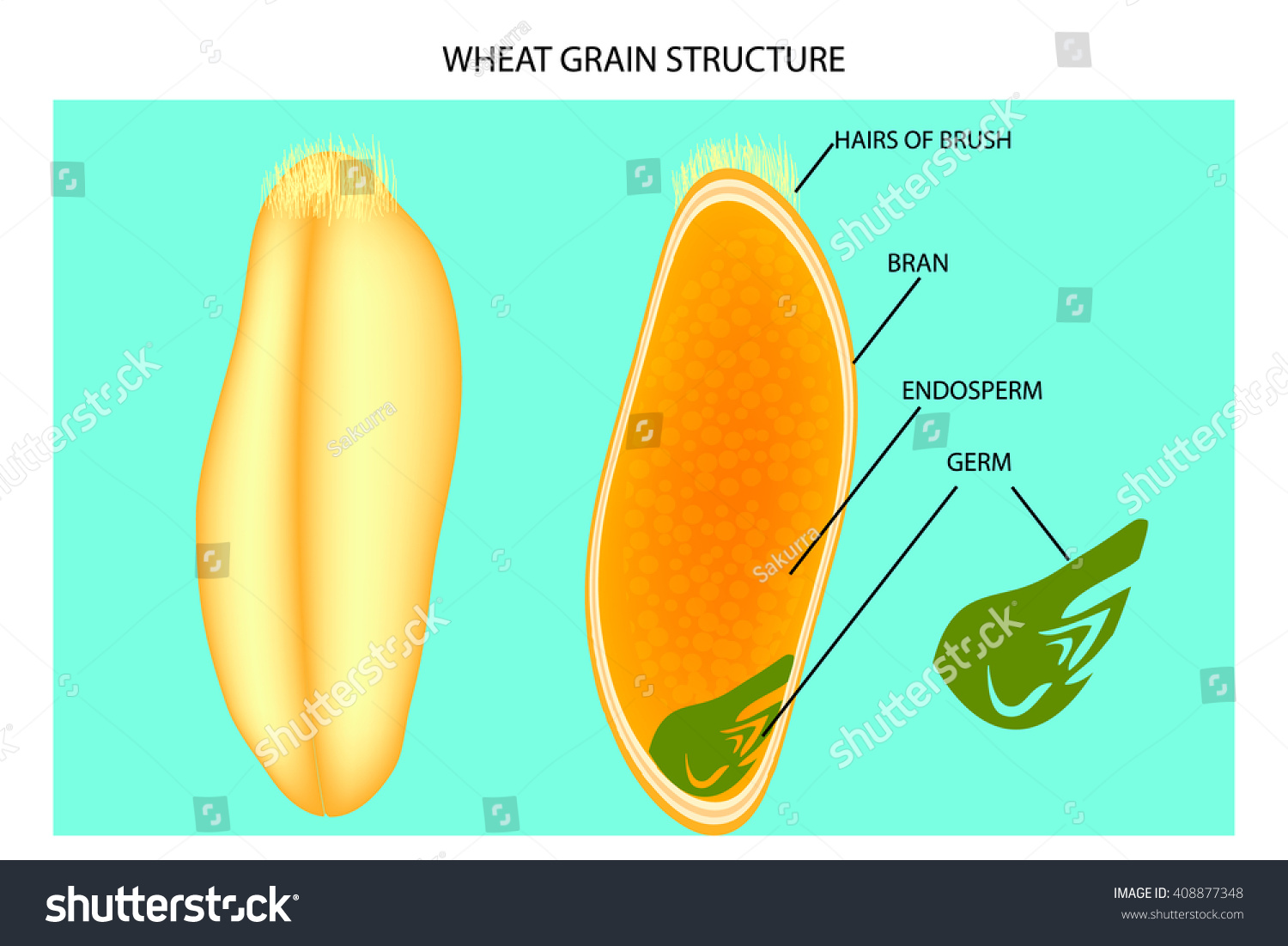 Wheat Grain Structure Stock Vector (Royalty Free) 408877348 ...