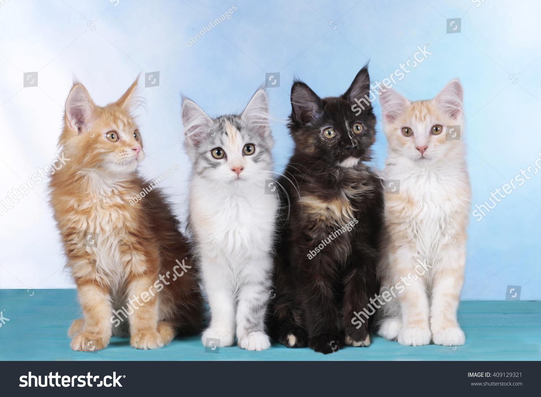 Four Cute Maine Coon Kitten Row Stock Photo 409129321 ...