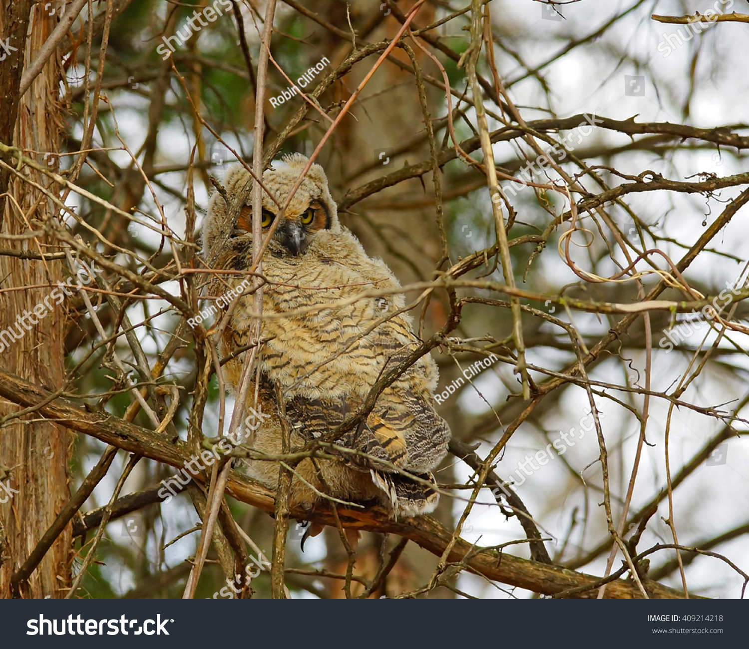 Great Horned Owl Chick Found Edge Stock Photo (Royalty Free ...