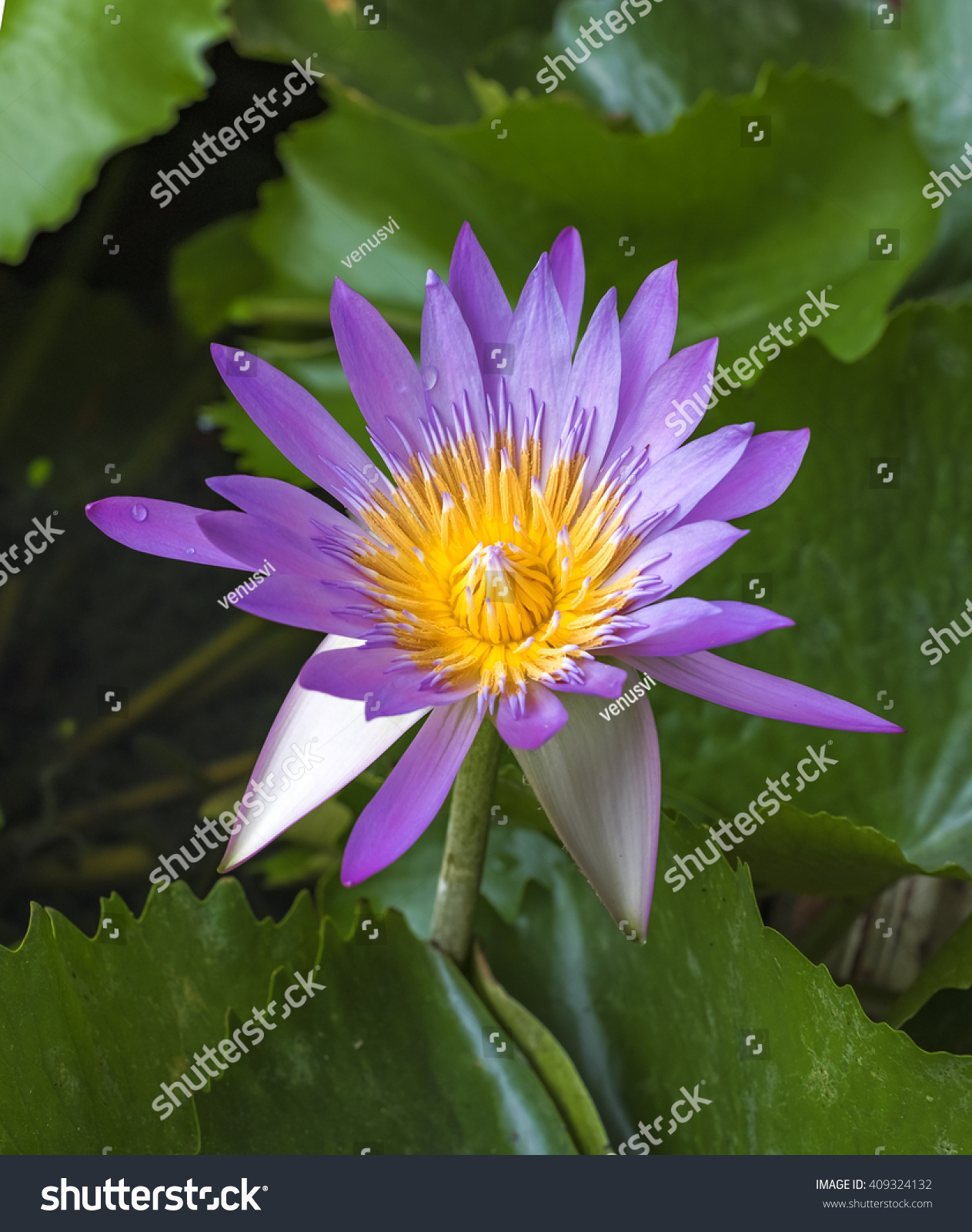 Beautiful Water Lily Or Lotus Flowerthe Beauty Of Nature Is Built