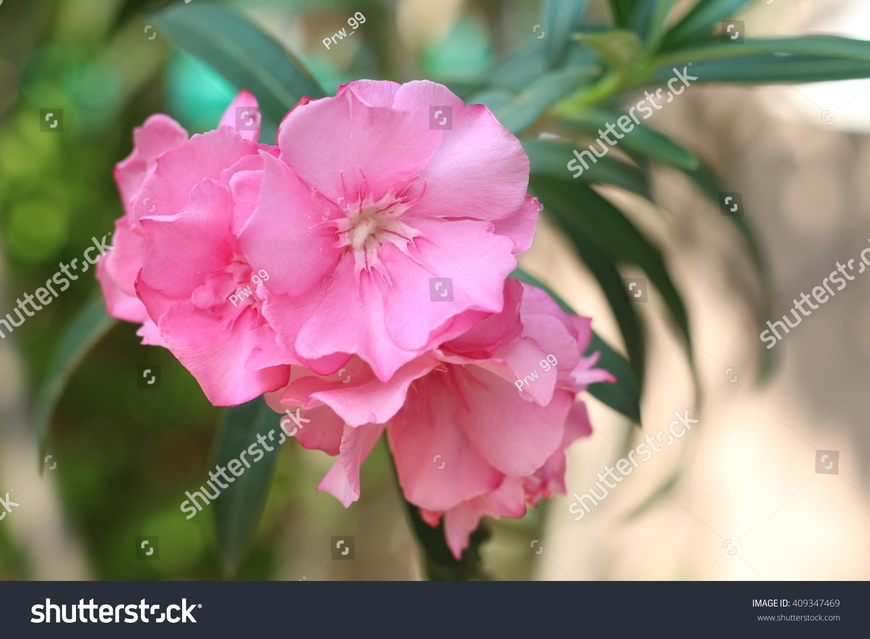 Pink Flower Name Oleander Scientific Name Stock Photo Edit Now